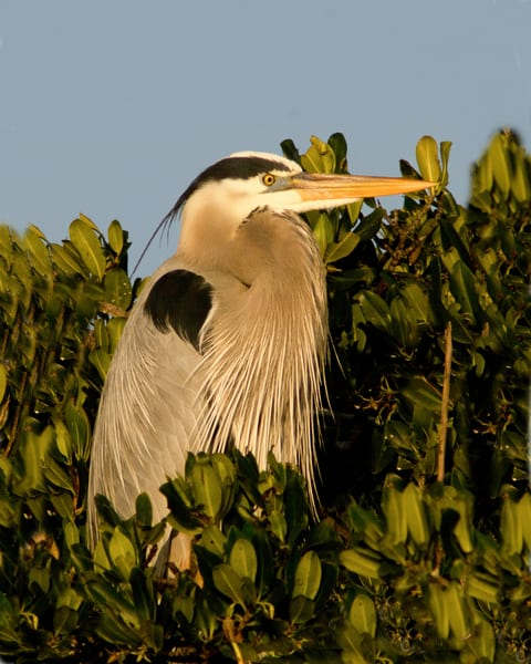 Blue Heron At Rookery Photography Art | It's Your World - Enjoy!