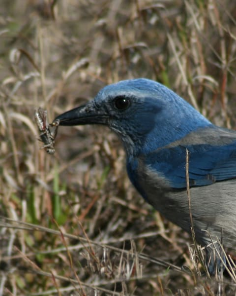 Scrub Jay With Lunch Photography Art | It's Your World - Enjoy!