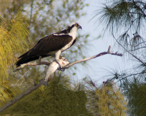 Osprey With Dinner Photography Art | It's Your World - Enjoy!