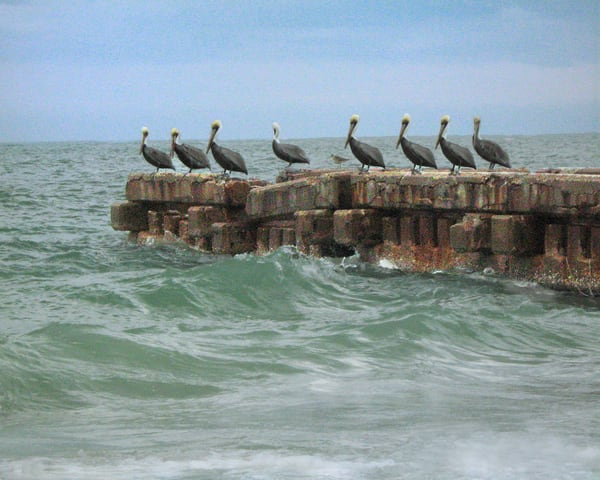 Pelicans On A Wall Photography Art | It's Your World - Enjoy!