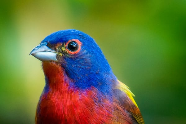 Headshot of Male Painted Bunting