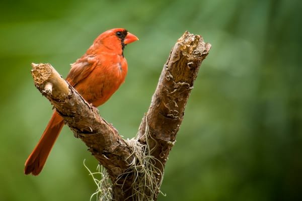 Northern Red Cardinal Perched on Pine Tree Branch