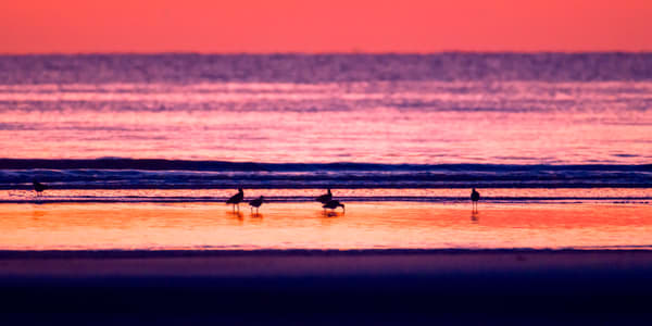 Willets Feeding on the Beach at Sunrise