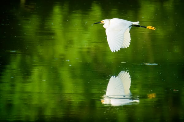 Snowy Egret with Reflection in Flight Over Pond
