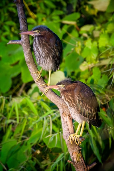 Two juvenile Green Herons on a Branch