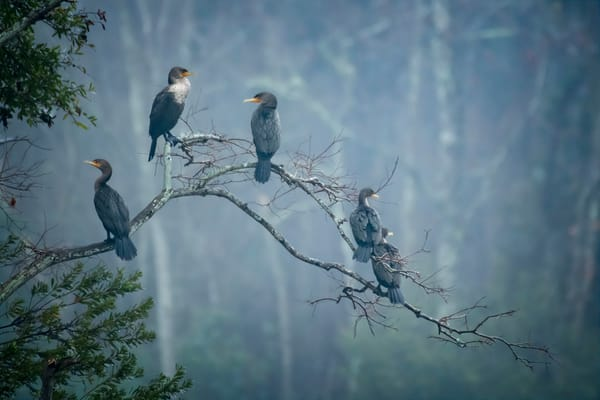 Several Double Crested Cormorants on a Branch on Foggy Day