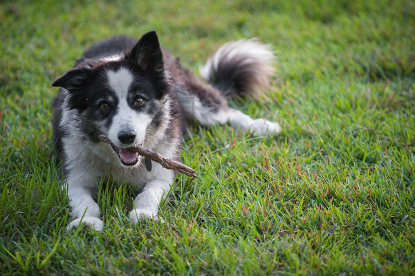 Border Collie with Stick