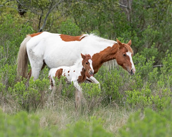 chincoteague mare and foal