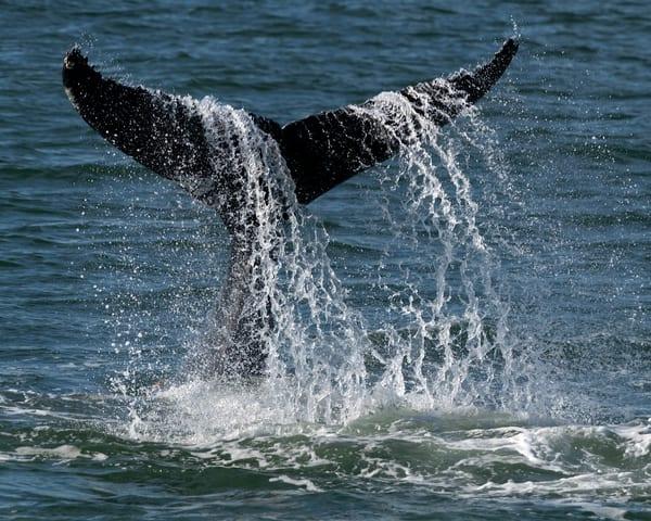Whale, Tail, Splash, Humpback, Atlantic, ocean
