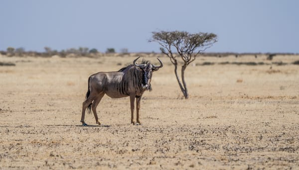 Wildebeest Photography Art | Tolowa Gallery