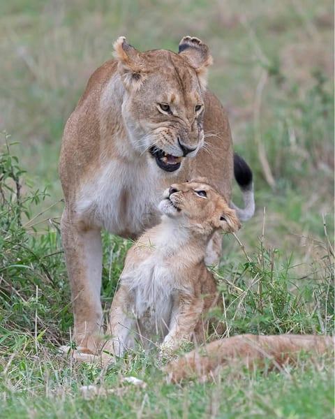 Scared lion cub