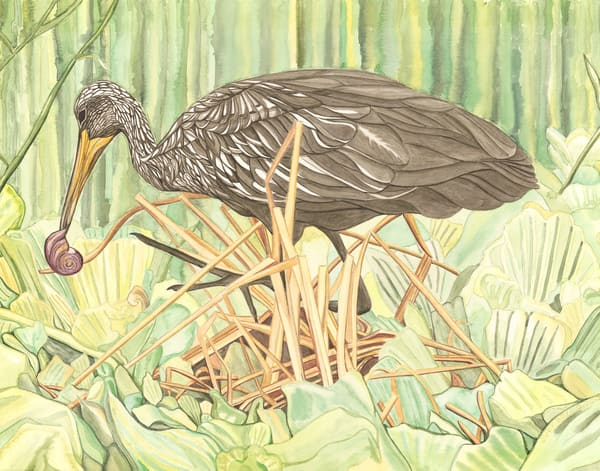 """Fine art reproduction of """"Limpkin,"""" an original painting from Judy Boyd Watercolors."""