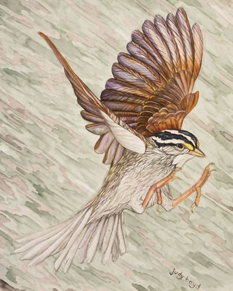 White-crowned Sparrow: reproduction of original painting by Judy Boyd