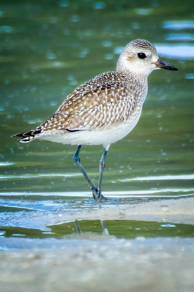 Juvenile Black Bellied Plover in Tidal Pond on BEach