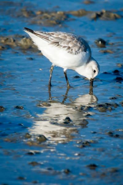 Sanderling Feeding in Shallow Ocean Water
