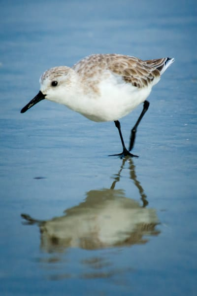 Sanderling with Reflection on Beach