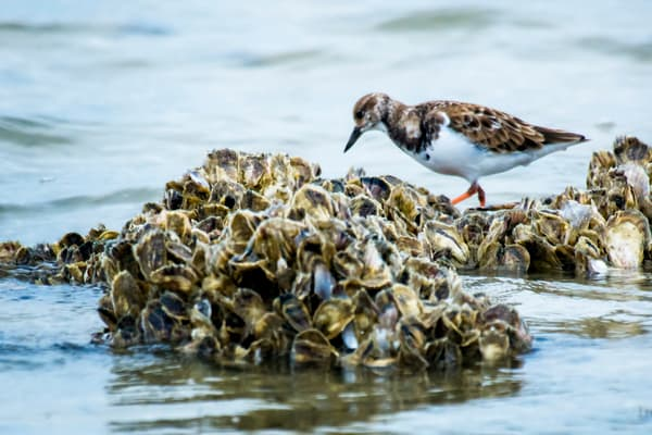Ruddy Turnstone Walking in Oyster Bed on Beach
