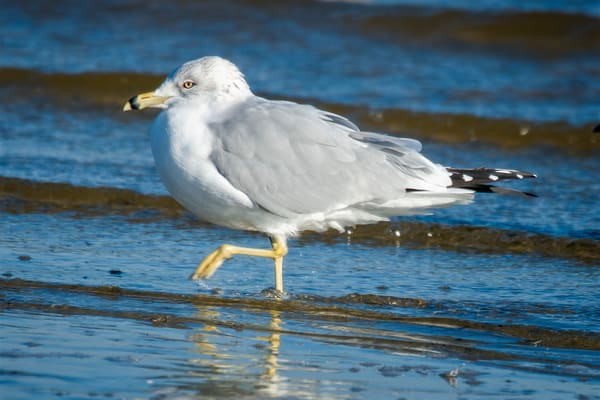 Ring Billed Gull Walking in Shallow Water at Beach