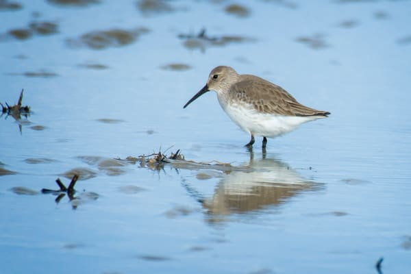 Dunlin Standing in Shallow Water on Beach