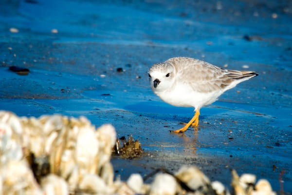 Piping Plover Standing in Wet Sand on Beach
