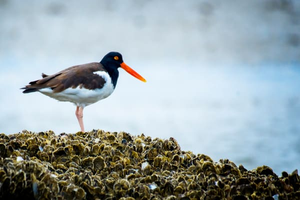 American Oyster Catcher in Oyster Bed