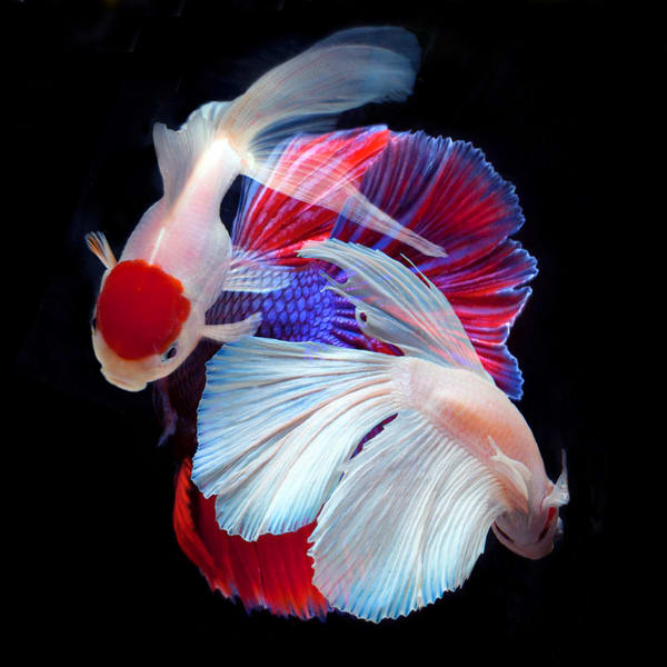 Color Photograph of Beta Fish S