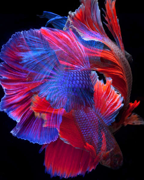 Color Photograph of Beta Fish