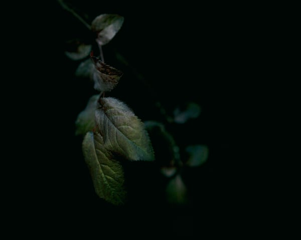 Plum Leaves #2 Photography Art | Jae Feinberg Fine Art Photo