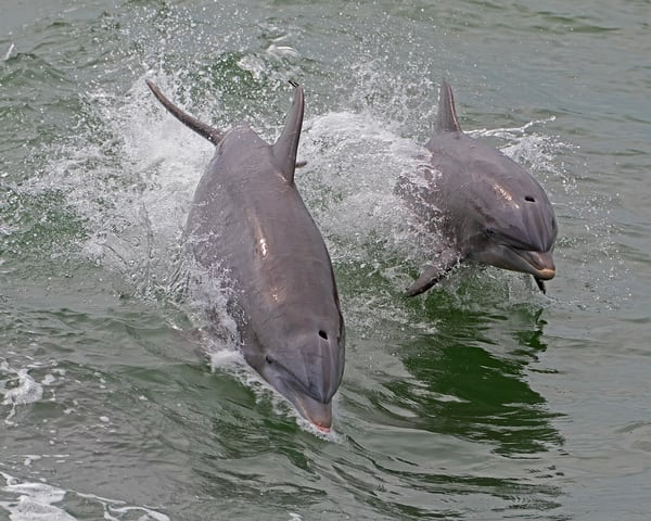2 Dolphins Jumping