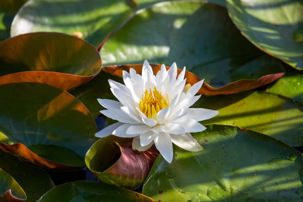 Water Lily Art | capeanngiclee
