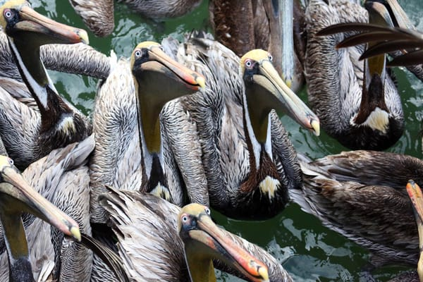 Pelican Cartoon Art   capeanngiclee