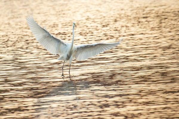 Egret Dance Rise Art | capeanngiclee