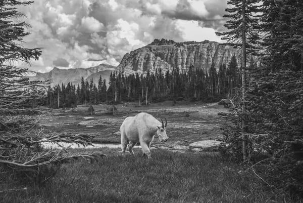 Mountain Goat  Glacier Photography Art | Casey McFarland Photography