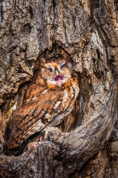 Eastern Screech Owl Yawning Photography Art | Matt Cuda Nature Photography