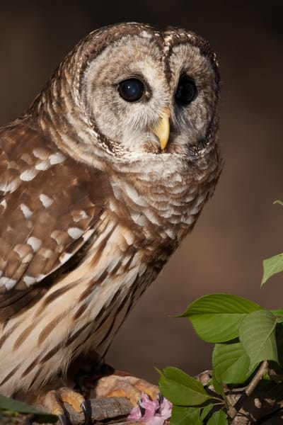Barred Owl Photography Art | Matt Cuda Nature Photography