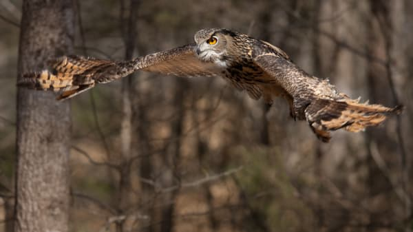 Eagle-owl in Flight