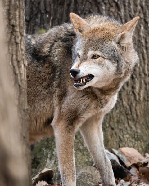 Snarling Red Wolf
