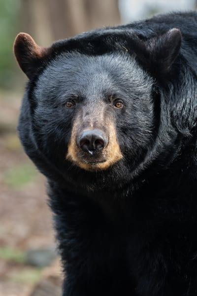 American Black Bear Photography Art | Matt Cuda Nature Photography