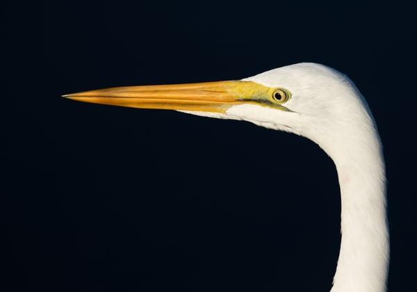 Closeup of a great egret
