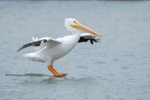 White Pelican Landing Photography Art | Matt Cuda Nature Photography