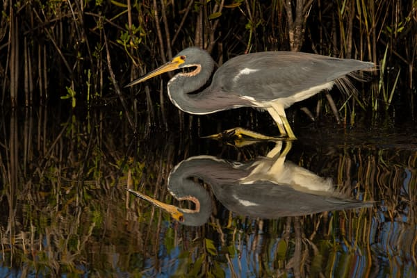 Tri Colored Heron Reflection Photography Art | Matt Cuda Nature Photography