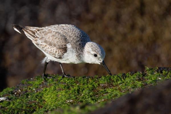 Sanderling Picking through Mossy Rocks