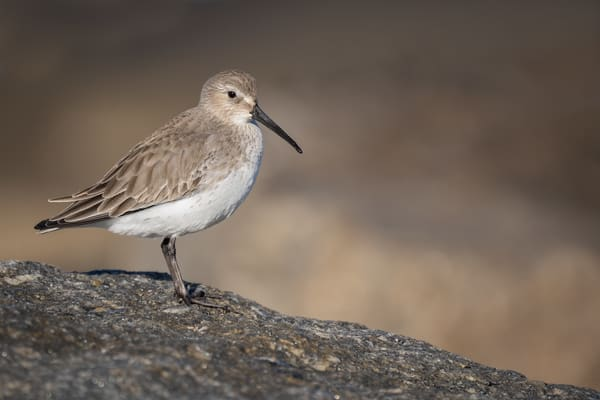Dunlin Perched on Rock