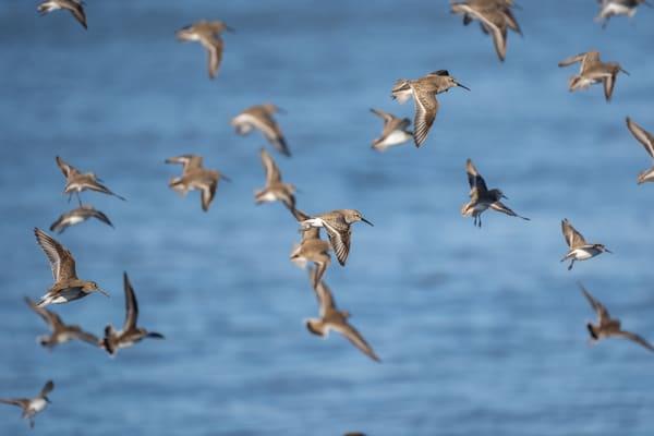 Flock of Dunlins