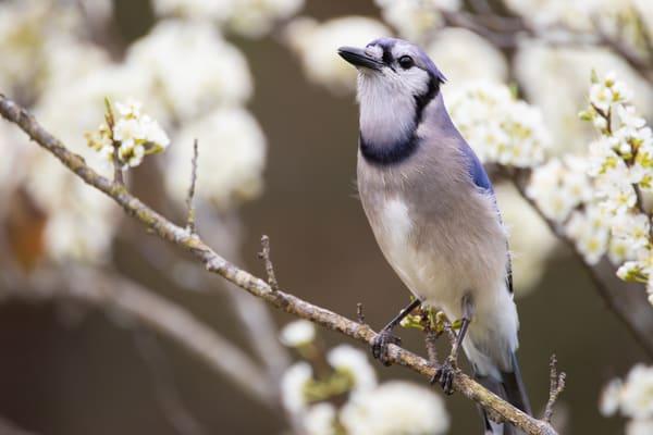 Bluejay in Plum Tree
