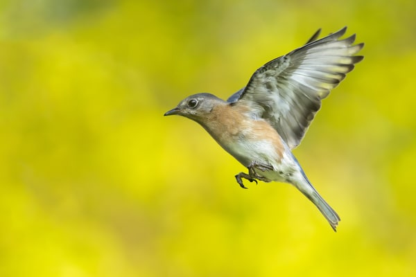 Female Of A Mating Pair Of Bluebirds Photography Art | Matt Cuda Nature Photography