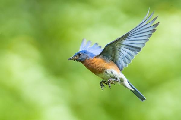 Male Bluebird in Flight
