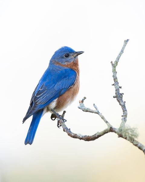 Eastern Bluebird Calling