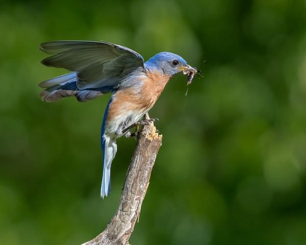 Bluebird eating a cricket
