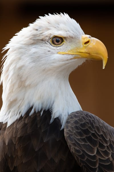 Bald Eagle Photography Art | Matt Cuda Nature Photography